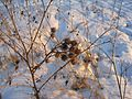 Репейник (Agrimony) - panoramio.jpg
