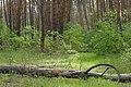 Сосни Самарського лісу.jpg
