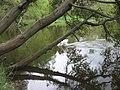 Тростянець (Маєток Потоцького). Лебеді на ставку.jpg