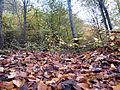 پاییز جنگل چالوس.jpg
