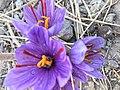 گل زعفران.jpg