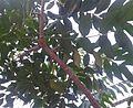 கருமுத்து மரம் 3 (Majidea zangueberica ).jpg