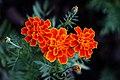 ดาวเรืองฝรั่งเศส ( French Marigolds ) (7).jpg
