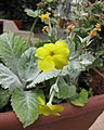 丘園報春 Primula x kewensis -比利時國家植物園 Belgium National Botanic Garden- (9213291675).jpg