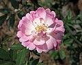 中國古老月季-古老4 Rosa chinensis 'Ancient-4' -深圳人民公園 Shenzhen Renmin Park, China- (28921195798).jpg