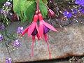 倒掛金鐘 Fuchsia Mrs Popple -英格蘭 Grasmere, England- (9255178474).jpg