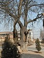 千年皂角树 - panoramio.jpg