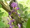 台湾小叶崖豆(小叶鱼藤) Millettia pulchra v microphylla -台北植物园 Taipei Botanical Garden- (9200908810).jpg