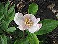 多花芍藥 Paeonia emodi -比利時國家植物園 Belgium National Botanic Garden- (9173504800).jpg