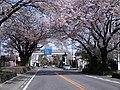 日光街道桜並木.JPG