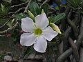 沙漠玫瑰 Adenium obesum -檳城花展 Penang Flower Show- (9229897510).jpg