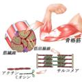 筋肉2.png