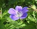 老鸛草 Geranium Rozanne -挪威 Jølster, Norway- (35933106252).jpg