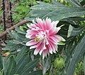 耬斗菜屬 Aquilegia vulgaris v stellata 'Nora Barlow' -巴黎植物園 Jardin des Plantes, Paris- (9149790749).jpg