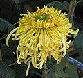 菊花-桃花飄月 Chrysanthemum morifolium -香港雲泉仙館 Ping Che, Hong Kong- (11979995955).jpg