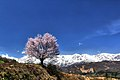 野平の一本桜 - panoramio (2).jpg