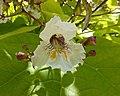 金葉美國梓 Catalpa bignonioides 'Aurea' -溫哥華植物園 VanDusen Botanical Garden, Vancouver- (9207605354).jpg
