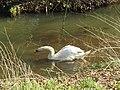 -2019-02-26 Swan, North Walsham and Dilham Canal, Briggate, Norfolk.JPG