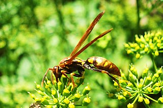 <i>Polistes versicolor</i> species of insect