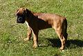 01 Puppy boxer.jpg
