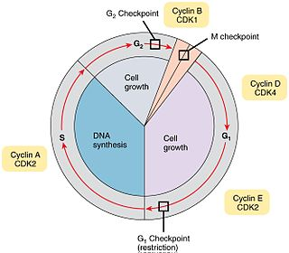 Cell cycle checkpoint