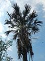 06211jfMayapyap Sur Palms Dalampang Buliran Cabanatuan Ecijafvf 05.JPG