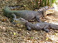 071228 crocodiles.JPG