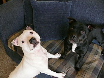 Two Pitbulls, one white, another mostly black,...