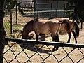 16.Кінь Пржевальського (3).jpg