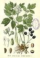 17 Actaea spicata.jpg