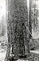 1923. Tree infested with Dendroctonus brevicomis almost stripped of bark by woodpeckers in their hunt for larvae. Southern Oregon Northern California (SONC) western pine beetle control project. (33607501125).jpg