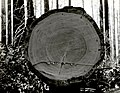 1938. Fire-killed Douglas-fir showing remarkably little deterioration. Meehan operation. Tillamook Burn, Oregon. (33891205031).jpg
