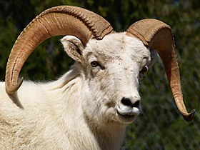 2005 04 27 1582 Dall Sheep.jpg