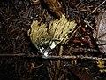 2008-07-23 Ramaria abietina (Pers.) Quél 64140.jpg
