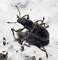 2010-05-23 Escaravello Bastavales.jpg