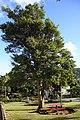 2010-08-01 Laurus nobilis.jpg