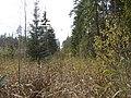 2010.gada 16.oktobris mežā, Viļķenes pagasts, Limbažu novads, Latvia - panoramio.jpg
