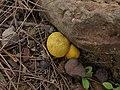2012-07-03 Scleroderma sinnamariense Mont 235880.jpg