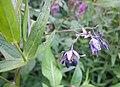 20120812Solanum dulcamara1.jpg