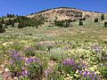 2013-07-12 11 07 38 Wildflowers in the Copper Mountains just west of Coon Creek Summit in Nevada.jpg