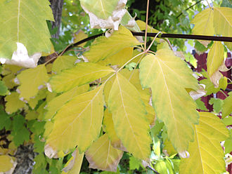 Acer negundo - Autumn leaf colour
