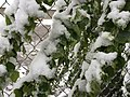 2015-05-07 07 35 13 New green leaves covered by a late spring wet snowfall on a poplar on Water Street in Elko, Nevada.jpg