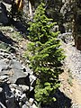 2015-07-13 13 50 13 A White Fir sapling along the North Loop Trail about 8.2 miles west of the trailhead in the Mount Charleston Wilderness, Nevada.jpg