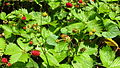 2015-11-09 wild strawberry patch Fragaria vesca.jpg