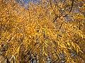 2015-12-08 12 29 09 Weeping Willow autumn foliage along Woodland Park Road in McNair, Fairfax County, Virginia.jpg