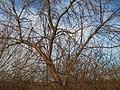 20150113Elaeagnus angustifolia1.jpg