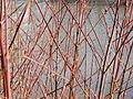 20150228Cornus sanguinea2.jpg