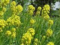20150509Barbarea vulgaris3.jpg