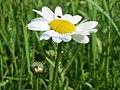 20160516Leucanthemum vulgare4.jpg