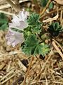 20160807Malva neglecta1.jpg